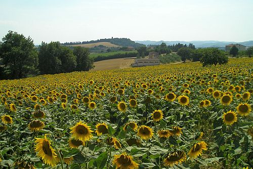 zonnebloemen in juli